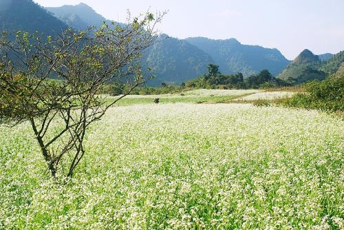 White mustard flower season in Moc Chau