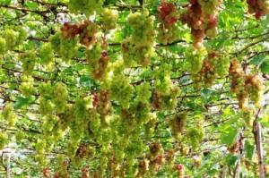Ninh Thuan to host int'l wine festival
