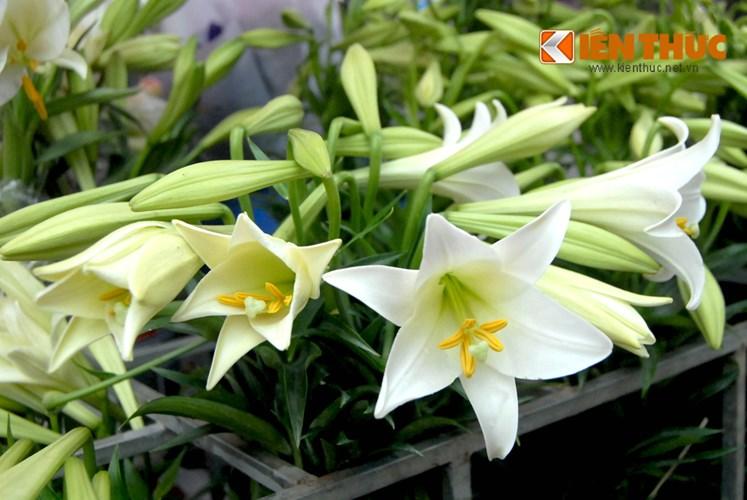 Gigli bianchi segnalano arrivo della primavera-3