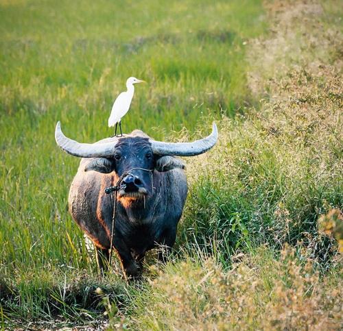 ホイアンの水田における水水牛