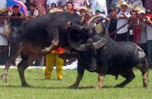 Buffalo fighting festival attracts over 30,000 visitors