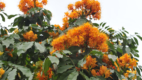 Sorrowless flowers glow in Hanoi