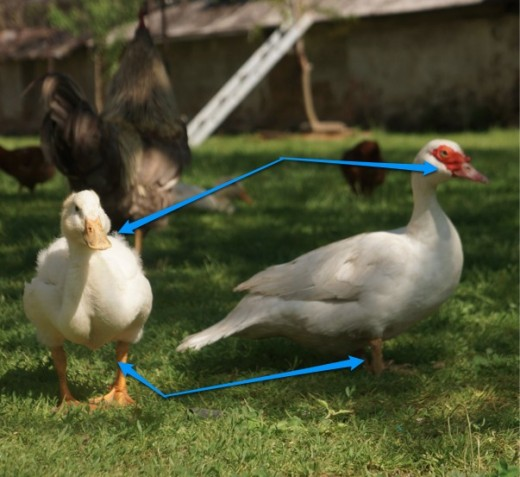 The differences between duck and muscovy duck