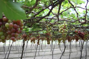 International grapes and wine festival 2014 in Ninh Thuan
