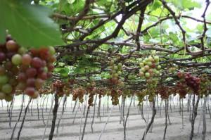 国际葡萄和葡萄酒节 2014 在尼·瑟安