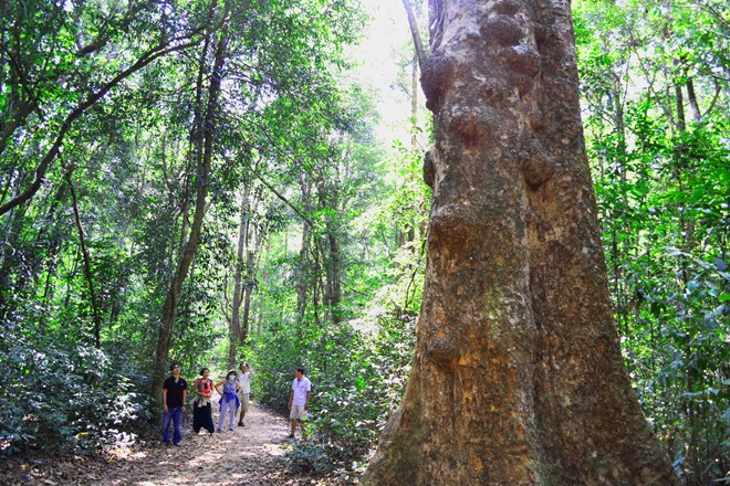Ancient trees in Phu Quoc Primeval Forest